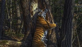 Объятия тигра
